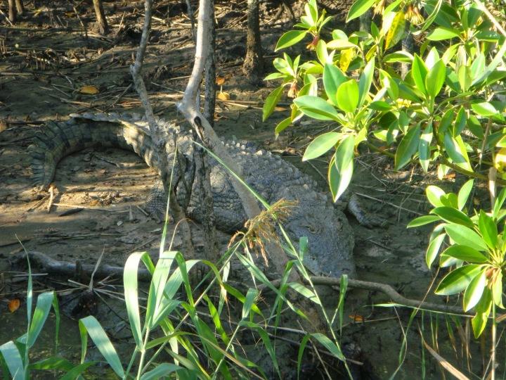 Big Nile crocodile