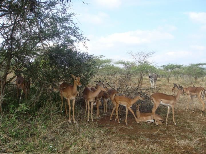 Antelopes galore