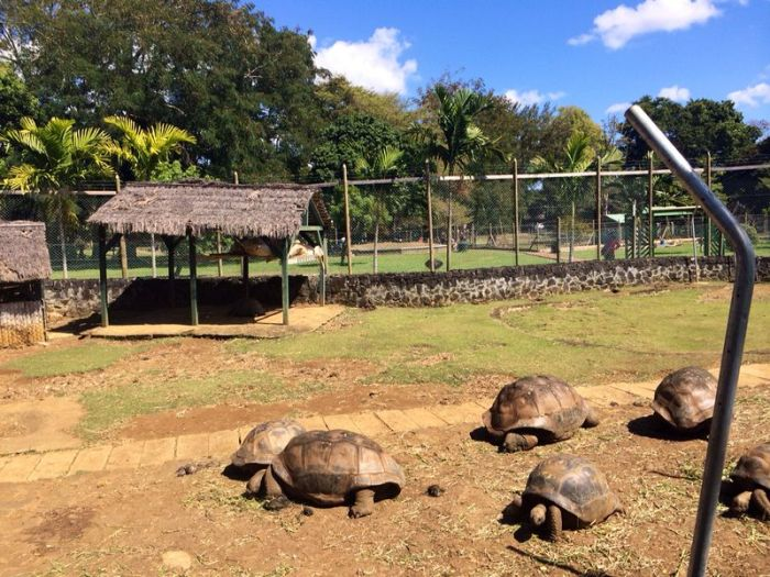 The giant turtles at the botanical gardens