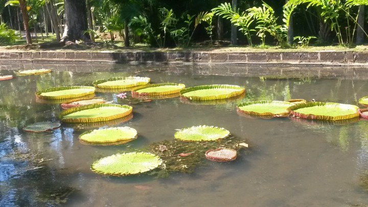 The giant water lilies!
