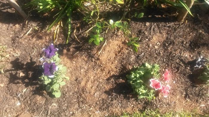 The 'new' petunias