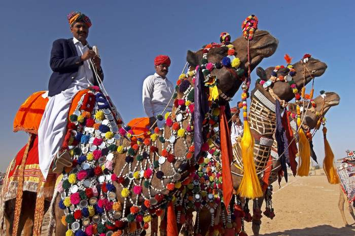 Decorated camels at the desert festival