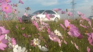 Beautiful Cosmos en-route to Clarens