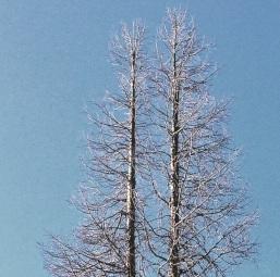 Half and Half tree