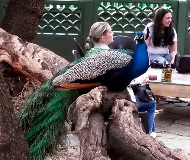 I wasn't kidding about the peacock