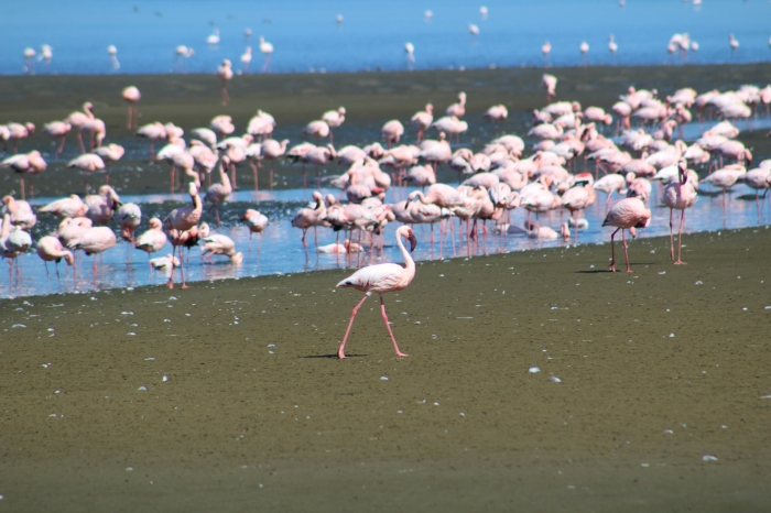 Pink Flamingos in Walvis Bay