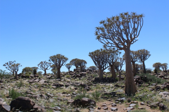 The Quiver Tree Forest