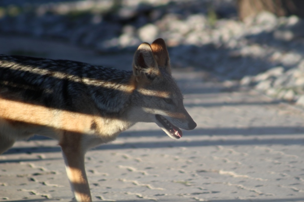 A jackal at our campsite!